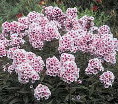 Summer Flowers For Garden - 10 best summer phlox images on pinterest perennials garden