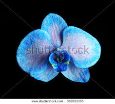 Blue Orchid Flower - u0026quot blue orchid flower u0026quot stock images royalty free images