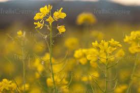 napa valley ground mustard trellis creative ground cover