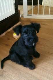 25 schnauzer puppies ideas black schnauzer