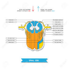 Relex Arc Cross Section Of Spinal Cord Central Nervous System Vector