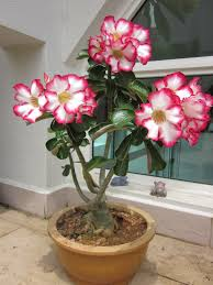 native chinese plants beauty in the eye of the beholder fat boy adenium pot gardening