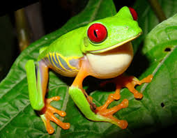 the eyed tree frog litoria chloris kaieteur
