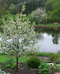 small flowering trees howtoword design ideas