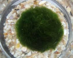 marimo aquarium etsy