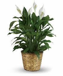 peace lilly peace spathiphyllum small medium large colonial house of