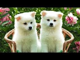 pics of american eskimo dogs 60 seconds of cute american eskimo dog puppies youtube