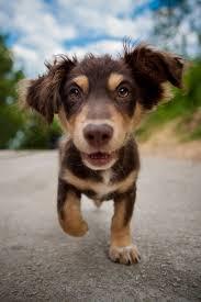australian shepherd quotes australian shepherd an athletic dog that needs plenty of