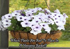 Best Plants For Hanging Baskets by Which Plants Are Best To Place In A Hanging Basket Office Plants
