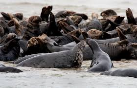 once nearly extinct gray seals make a comeback in new england