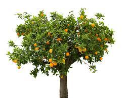 free photo nature tree orange orange tree free image on