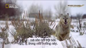 national geographic documentary inside the wolfpack wolf pack nat