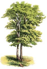 antique nature graphic lovely shade tree the graphics