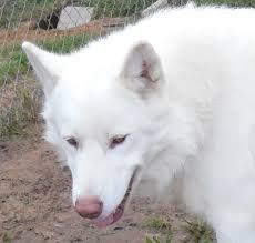 belgian sheepdog michigan majestic view kennels native american indian dog breeder