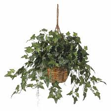 home plans database buy where to buy ivy plants english ivy plant