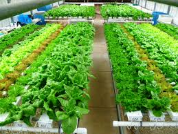 growing high value lettuce with low water use agrilife today