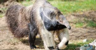 Potter Park Zoo Lights by New Giant Anteater On Exhibit At Potter Park Zoo