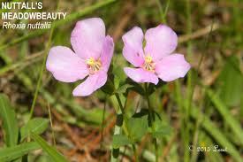 native virginia plants pink blooms what florida native plant is blooming today
