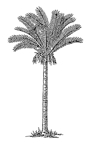 file date palm 1 psf png wikimedia commons