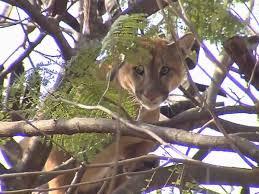Onça é encontrada em cima de árvore em bairro de Araçatuba (SP ...