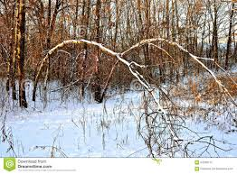 trees bent in a woods stock image image of trees 64299115