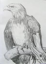 young bald eagle drawing by nancy rucker
