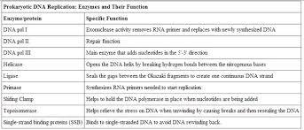 dna replication boundless biology