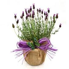 flower gift a pot of scented lavender superb plant flower gift for