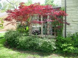 japanese maple gardens and yards small ornamental