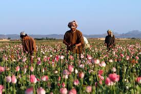 Opium by Harvesting Opium In Afghanistan U0027s Poppy Fields