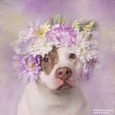 Dog Flower Arrangement Photographer Uses Flower Arrangements To Help Abandoned Pit Bulls