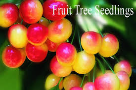 willamette nurseries rootstock clonal seedling fruit tree