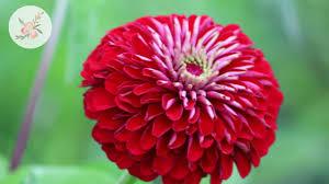 in the garden zinnias and sunflowers ornamental cut flower