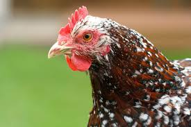 Backyard Chickens Com - what a chicken u0027s comb can indicate backyard chickens