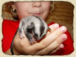 sugar glider diet pets housing care sevierville tennessee