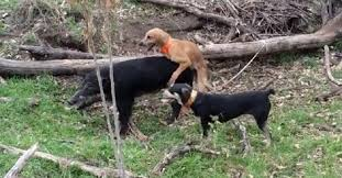 Hog Hunting Memes - worst hunting dog ever this dog takes a break to hump a hog