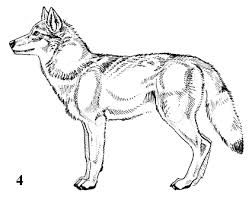 wolf drawings step by step artwork text copyright 2013 by j c