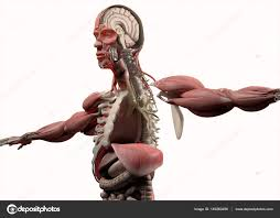 Male Body Anatomy Organs Half Male Body Anatomy Model U2014 Stock Photo Anatomyinsider 149260498