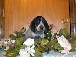 bluetick coonhound kennels in ga bluetick coonhound u2013 heavenly hound holler kennels