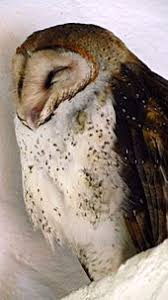 Where Do Barn Owls Live Barn Owl Wikipedia