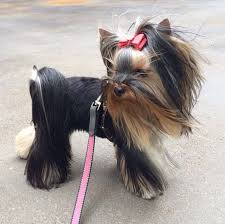 yorkie hair cut chart 23 best yorkie related images on pinterest dog grooming styles