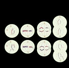 meiosis cell division biology article khan academy