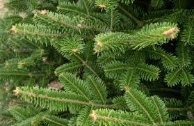 fraser fir tree fraser fir abies fraseri