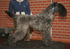 bedlington terrier shaved advance perspective respiratory views asthma patients and puppy