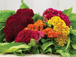 celosia flower coral garden mix cockscomb baker creek heirloom seeds