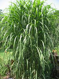 plant guide miscanthus floridulus pacific island silver