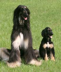 afghan hound pictures 10 cool facts about afghan hounds afghan hound