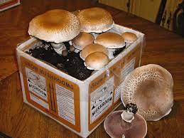 yli tuhat ideaa mushroom kits pinterestissä