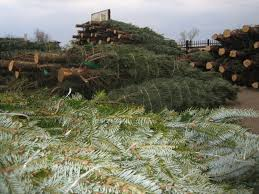 fresh cut trees starting to arrive pahl s market