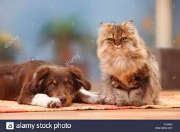 cat with australian shepherd australian shepherd red tri 5 months and britisch longhair cat